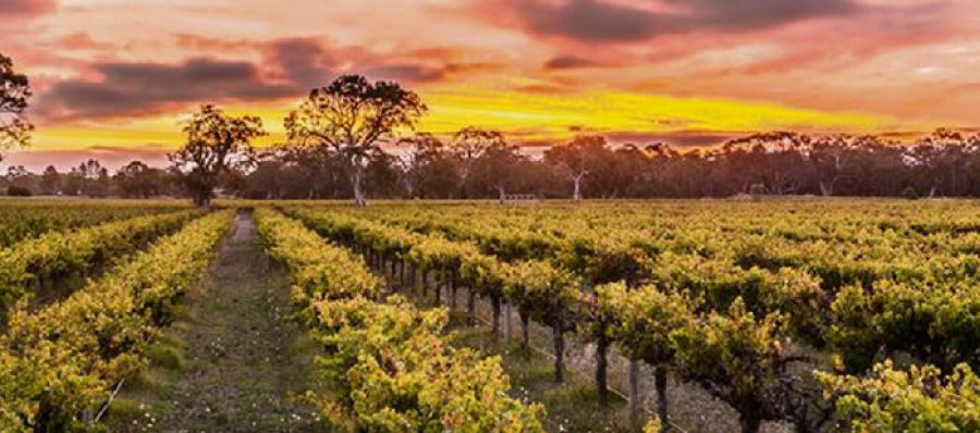 Photo for: Winegrapes Australia